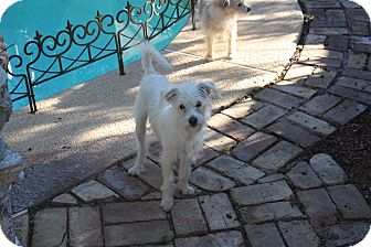 Westie, West Highland White Terrier/Terrier (Unknown Type, Small) Mix Puppy for adoption in Mesa, Arizona - Connar