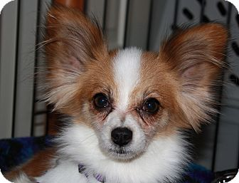 Papillon Dog for adoption in Greensboro, North Carolina - Gigi