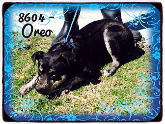 Australian Cattle Dog/Labrador Retriever Mix Dog for adoption in Dillon, South Carolina - Oreo