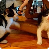 Adopt A Pet :: Galina - St. Louis, MO