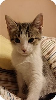 Domestic Shorthair Kitten for adoption in Nashville, Tennessee - Uno