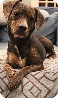 Whippet/Labrador Retriever Mix Dog for adoption in Allentown, Pennsylvania - Gloria Jean