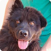 Chow Chow Mix Dog for adoption in Las Vegas, Nevada - Stephanie