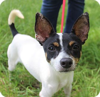 Rat Terrier/Terrier (Unknown Type, Small) Mix Dog for adoption in Plymouth Meeting, Pennsylvania - SPENCER