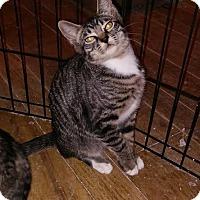 Domestic Shorthair Kitten for adoption in Alamo, California - Doyle