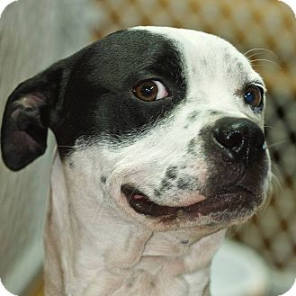 Boxer Mix Dog for adoption in Chillicothe, Ohio - Jojo