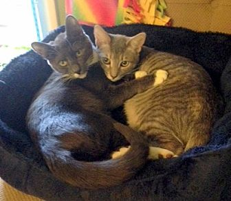 Domestic Shorthair Kitten for adoption in San Leandro, California - Madison