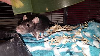 Rat for adoption in LaPorte, Indiana - Tyreese and Sasha