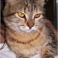 Domestic Mediumhair Cat for adoption in Lake Arrowhead, California - Gingerale