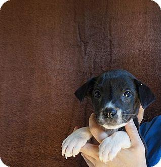Beagle/Australian Shepherd Mix Puppy for adoption in Oviedo, Florida - Moxi