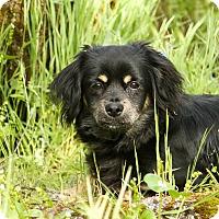Adopt A Pet :: Polo - Auburn, CA