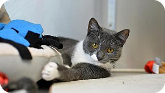 Domestic Shorthair Cat for adoption in Scituate, Massachusetts - Bonnie Blue