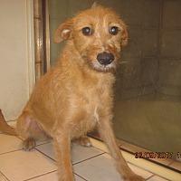 Adopt A Pet :: GINGER - La Mesa, CA