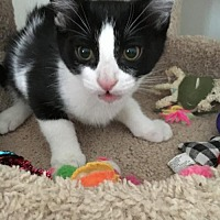 Adopt A Pet :: SYLVESTER - Lakewood, CA