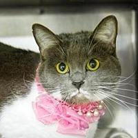 Adopt A Pet :: Poofy - Herndon, VA