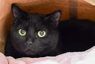 Domestic Shorthair/Domestic Shorthair Mix Cat for adoption in Philadelphia, Pennsylvania - Licorice