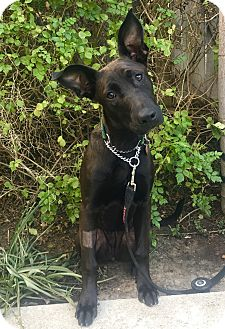 Shepherd (Unknown Type) Mix Dog for adoption in Mission Viejo, California - Tilly