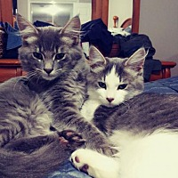 Adopt A Pet :: George (+Tiffany) - Richmond Hill, ON