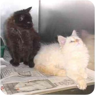 Domestic Longhair Cat for adoption in North Wilkesboro, North Carolina - Sweet & Loving!