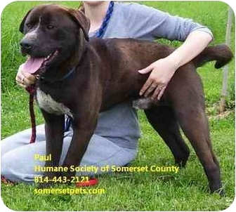 Staffordshire Bull Terrier Mix Dog for adoption in Somerset, Pennsylvania - Paul