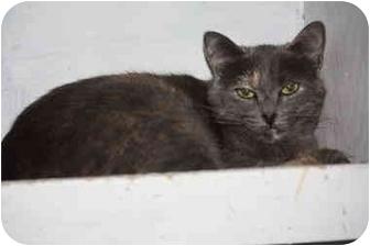 Domestic Shorthair Cat for adoption in Owasso, Oklahoma - Silvia