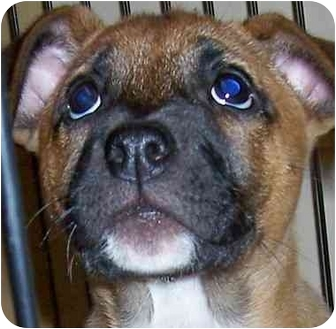 Terrier (Unknown Type, Medium)/Boxer Mix Puppy for adoption in Olive Branch, Mississippi - Smarty Pants