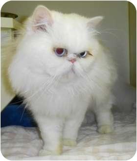 Persian Cat for adoption in Lincolnton, North Carolina - Mr. Deville