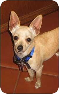 Chihuahua Mix Puppy for adoption in San Diego, California - Nick