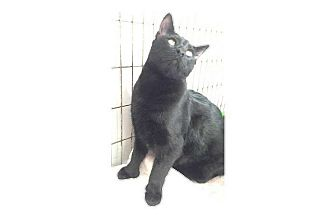 Domestic Shorthair Cat for adoption in Pompton Lakes, New Jersey - Pepper