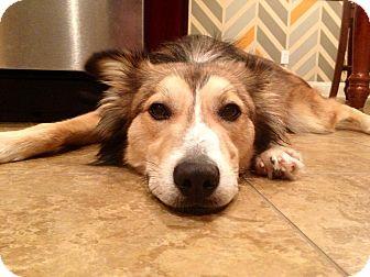 Australian Shepherd Mix Dog for adoption in Nashville, Tennessee - Hogan
