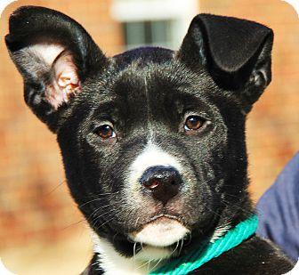 Bernese Mountain Dog/Labrador Retriever Mix Puppy for adoption in Stamford, Connecticut - Sophia