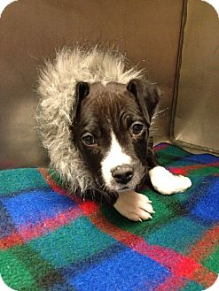 Terrier (Unknown Type, Medium)/Boxer Mix Puppy for adoption in South Haven, Michigan - Boomer