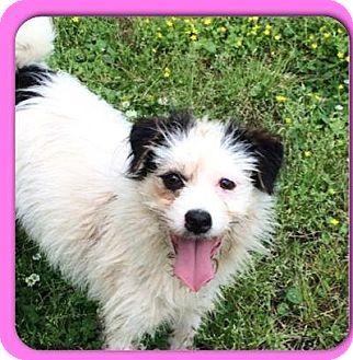 Rat Terrier/Shih Tzu Mix Dog for adoption in Baton Rouge, Louisiana - Emmy