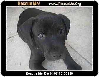 Labrador Retriever Mix Puppy for adoption in hollywood, Florida - peanut