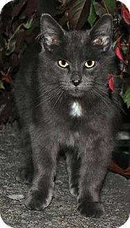 Russian Blue Cat for adoption in THORNHILL, Ontario - HUDSON