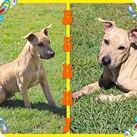Adopt A Pet :: Benny - Tampa, FL