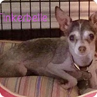 Adopt A Pet :: Tinkerbelle - House Springs, MO