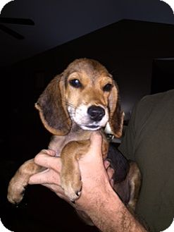 Hound (Unknown Type) Mix Puppy for adoption in Jacksonville, North Carolina - Luke