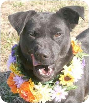 Labrador Retriever Mix Dog for adoption in Cincinnati, Ohio - Sue