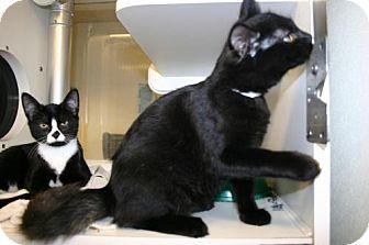 Domestic Mediumhair Kitten for adoption in Olympia, Washington - 41653, 41654, 4165