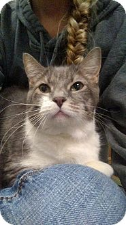 Domestic Shorthair Cat for adoption in Austintown, Ohio - Thumper
