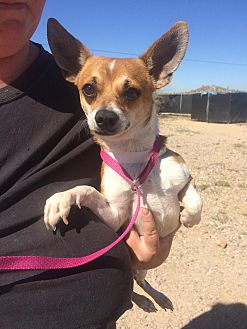 Fox Terrier (Smooth) Mix Dog for adoption in Phoenix, Arizona - Happy