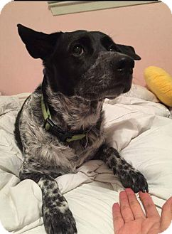 Blue Heeler Mix Dog for adoption in Fort Atkinson, Wisconsin - MILO