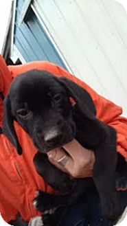 Hound (Unknown Type) Mix Puppy for adoption in Kalamazoo, Michigan - Guido