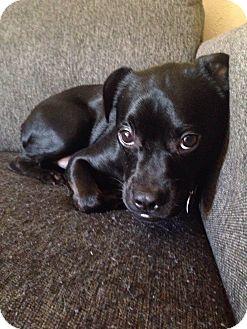 Boston Terrier/Boxer Mix Dog for adoption in Pulaski, Tennessee - Guinness