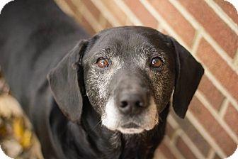 Basset Hound/Labrador Retriever Mix Dog for adoption in Cincinnati, Ohio - Shorty