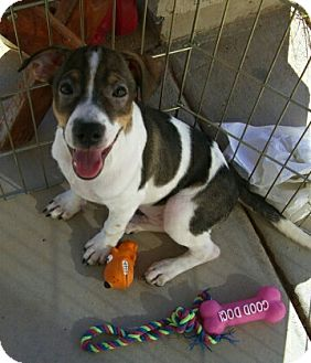 Chihuahua/Jack Russell Terrier Mix Puppy for adoption in Tonopah, Arizona - Brutus