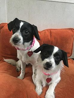 Terrier (Unknown Type, Medium)/Chihuahua Mix Dog for adoption in Tomball, Texas - TuTu and Freckles - BONDED SISTERS