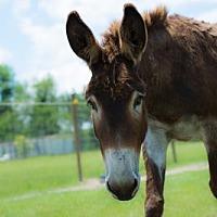 Adopt A Pet :: Valentine - Hinesville, GA