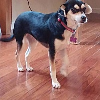 Adopt A Pet :: Jessie  A terrier mix adult - Arlington, WA